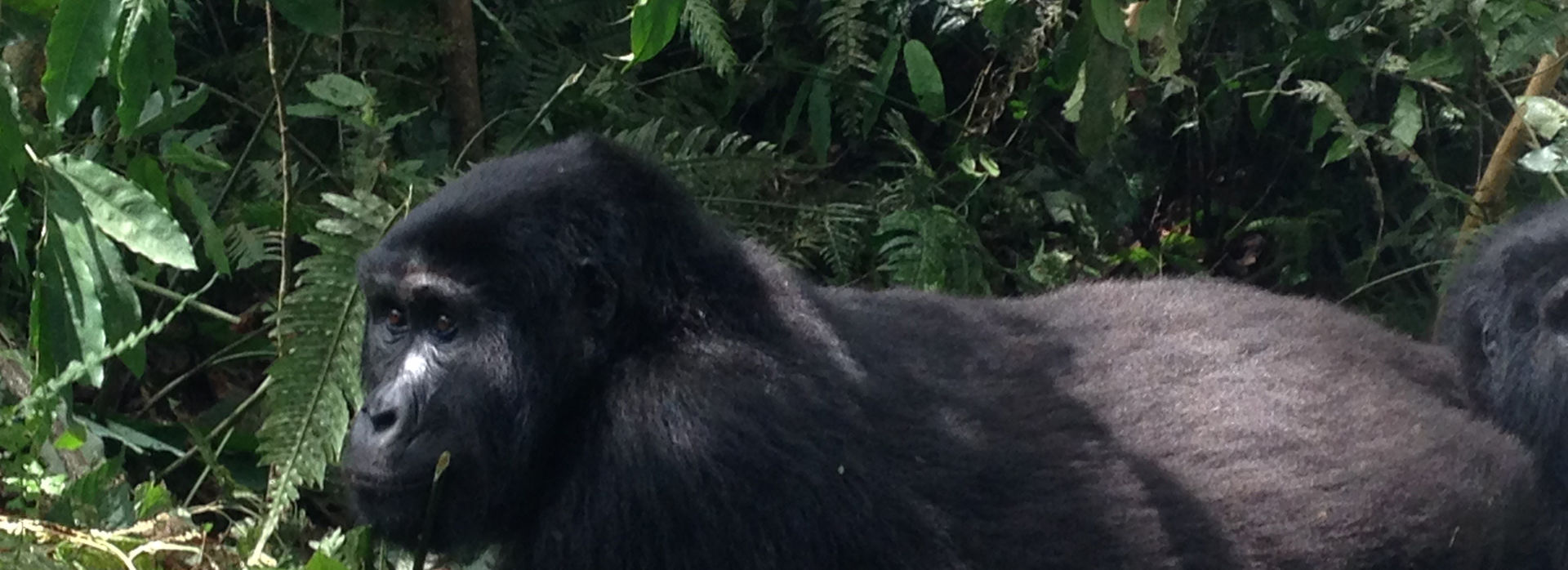 Meet the gorillas in Uganda